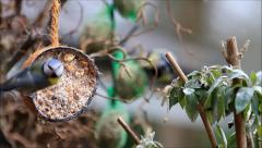 coconut shell with fat food for birds, blue tit - stock footage