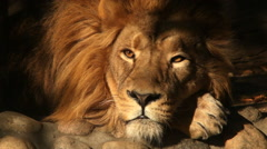 Sunlit face of dreaming lion close up on dark shadow background. King of beasts Stock Footage
