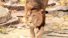 Lion, going towards camera on rock background with fallen red and yellow leaves. Stock Footage