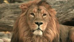 Golden Asian lion, lying on fallen tree wood background and looking around. Stock Footage