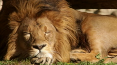 Dreaming of sunny Asian lion, calm lying on green grass background. Stock Footage
