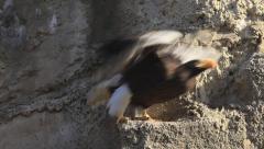 Take-off of sunlit Steller's sea eagle, Haliaeetus pelagicus, from rock ledge. Stock Footage