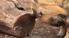Takin male close up, Budorcas taxicolor, sharpening his horns against thick log. Stock Footage