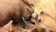 Takin male, Budorcas taxicolor, batting with his father over thick log. Stock Footage