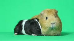 Two amusing multi-colored guinea pig - stock footage