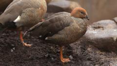 Picturesque ruddy-headed goose, chloephaga rubidiceps, standing on one leg - stock footage