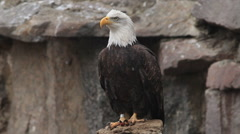 Bald eagle, haliaeetus leucocephalus, sitting on rocky background - stock footage
