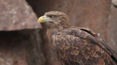 White-tailed sea eagle or erne, Haliaeetus albicilla, on blur red granite rock Stock Footage