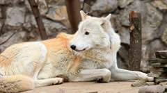 Calm Arctic wolf or polar wild dog, lying on stone wall and tree background. Stock Footage
