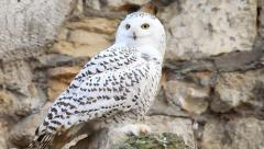 Snowy owl, spotted female, sitting on the rocky background, Stock Footage