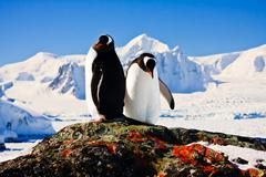 Two penguins - stock photo