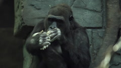 Chiropody of gorilla female, sitting on green stone wall background. Stock Footage