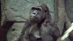 Expressive head and mighty shoulders of gorilla female Stock Footage