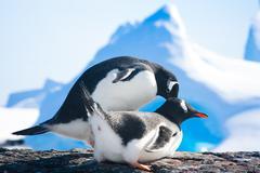 penguins in Antarctica - stock photo