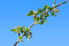 Burgeoning apple tree branch - stock photo