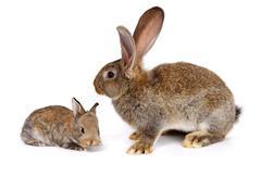 Mother rabbit with newborn bunny Stock Photos
