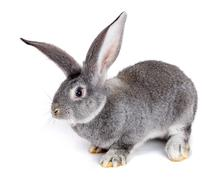 Grey rabbit on white background Stock Photos