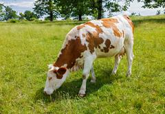 Piebald cow grazing on the field Stock Photos