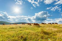 Herd of cows grazing on sunny field Stock Photos