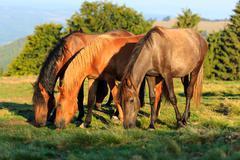 Herd of wild horses grazing - stock photo