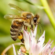 Macro of honey bee on flower Stock Photos