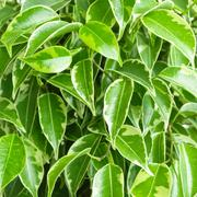 Benjamin ficus foliage - stock photo
