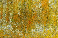 Yellow lichen on concrete wall - stock photo