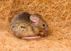 House mouse (Mus musculus) cleaning Stock Photos