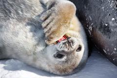 Baby seal Stock Photos