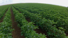 Field of young  green cotton plants Stock Footage