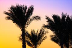 Stock Photo of silhouette palm tree