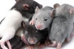 cute baby rats - stock photo