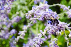 Bumble Bee - stock photo