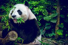 Hungry giant panda - stock photo