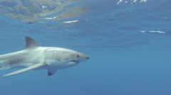 Great White Shark free swimming Stock Footage