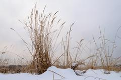 Dry grass in snowy field Stock Photos