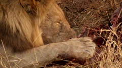 Lion kill feeding Stock Footage