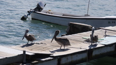 Sea pelicans in small wooden fishing pier Stock Footage