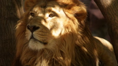 Sunshine spots on shaggy head of lion close up Stock Footage