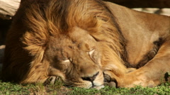 Shaggy Asian lion close up, sleeping on green grass background. - stock footage