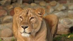 Following look of adorable lioness in sunset soft light on boulder background. Stock Footage