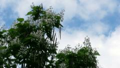 Catalpa tree against clouds Stock Footage