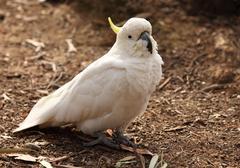 Sulphur crested Cockatoo, Australia - stock photo