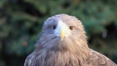 Stare of white-tailed sea eagle , Haliaeetus albicilla, on green background Stock Footage