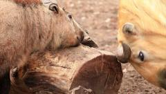 Takin baby, Budorcas taxicolor, and his father over thick log. Stock Footage