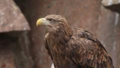White-tailed sea eagle or erne, Haliaeetus albicilla, on red granite background. Stock Footage
