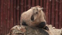 Takin kid, Budorcas taxicolor, lying on red log wall background. Stock Footage