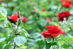 red roses garden spring season - stock photo
