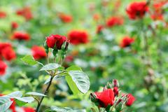 red roses flowers spring season - stock photo