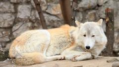 Excellent Arctic wolf or polar wild dog, on stone wall and tree background. Stock Footage